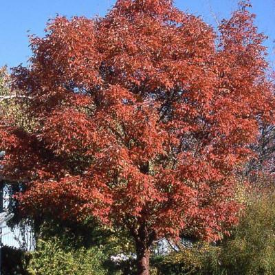 Acer griseum 1