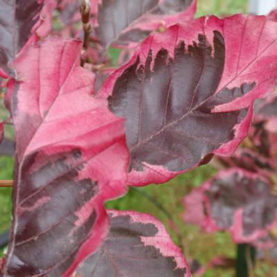 Fagus sylvatica 'Roseomarginata'