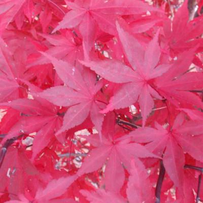 Acer palmatum 'Fireglow' 4