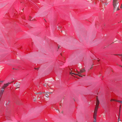 Acer palmatum 'Fireglow' 6