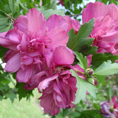 Hibiscus syriacus 'Lucy'
