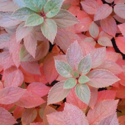 Hydrangea arborescens 'Pee Gee'
