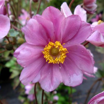 Anemone hupehensis 'Prince Henry' 1