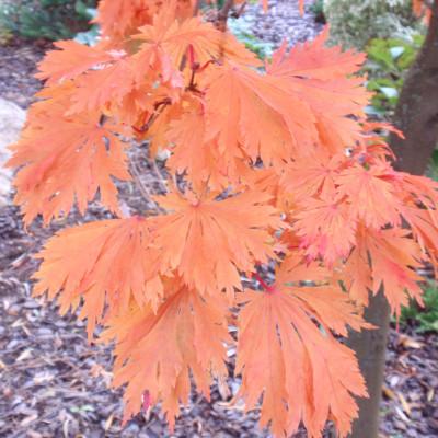 Acer japonicum 'Aconitifolium' 1