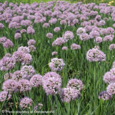 Allium tanguticum 'Summer Beauty'