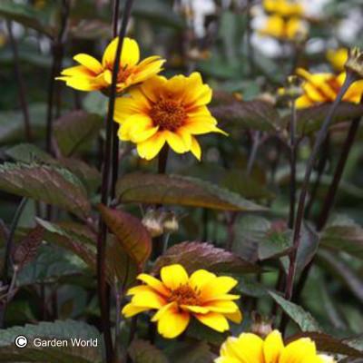 Heliopsis helianthoides 'Summer Nights'