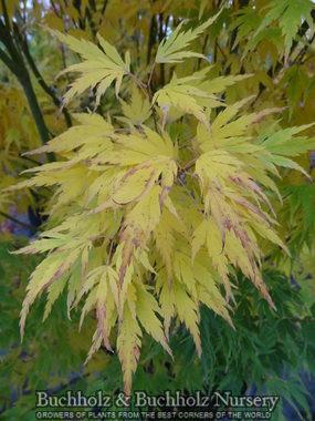 Acer palmatum 'Helena'