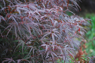 Acer palmatum 'Hubb's Red Willow'