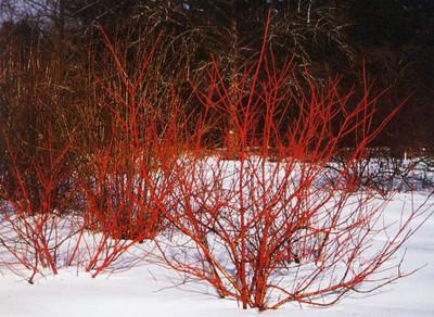 Cornus sericea 'Bailadeline' FireDance