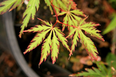 Acer palmatum 'Jeddeloh Orange'