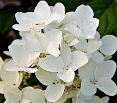 Hydrangea paniculata 'HYPMAD I' White Diamonds