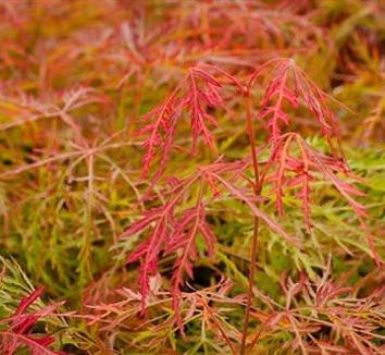 Acer palmatum  'Baldsmith'