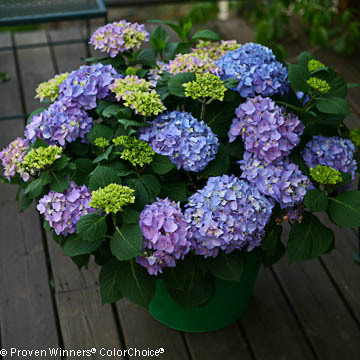 Hydrangea macrophylla Let's Dance 'Rhythmic Blue'