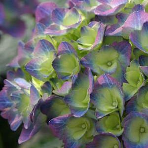 Hydrangea macrophylla 'Cityline Rio'