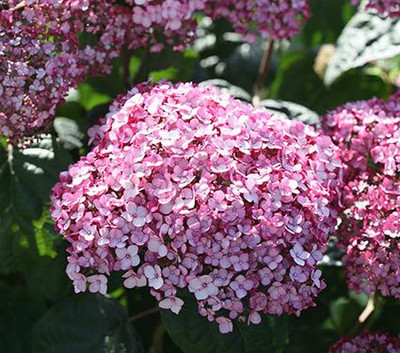 Hydrangea arborescens 'Incrediball Blush'