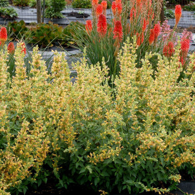 Agastache 'Kudos Yellow'with Kniphofia in the background