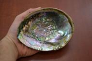 "Green Abalone Shell 5"" - 5 1/2"""