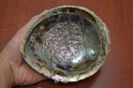 """Pink Abalone Shell 6"""" - 6 1/2"""""""