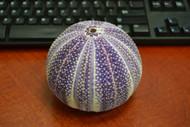 Purple English Cornish Channel Urchin