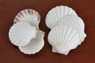 White Irish Deep Scallop Clam Seashell