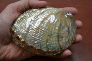 "Polished Both Side Green Abalone Shell 4 1/2"" - 5"""