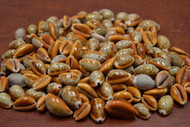 Reddish Brown Hemphrey Cowrie Seashell