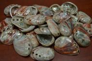 "Polished Small Abalone Seashell 2 1/2"" - 3"""