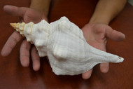 Natural White Horse Conch Seashell 11""