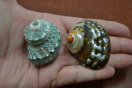 "2 Pcs Assort Small Pearl Turbo Hermit Crab Shell 1 1/2"" - 2"""