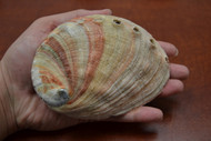 "One Side Polished Red Abalone Seashell 4 1/2"" - 5"""