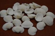 White Mini Small Ark Clam Seashell