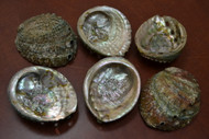 "Green Abalone Seashell (One Side Polished) 4"" - 4 1/2"""
