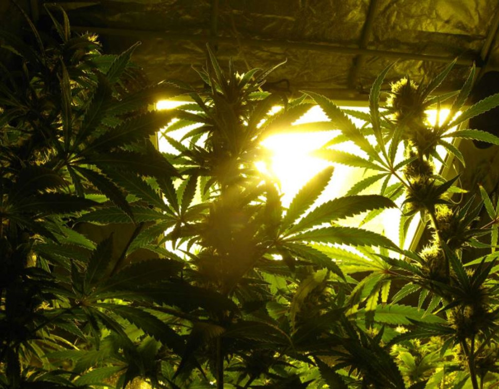 You Must Give Your Cannabis Lots of Light!