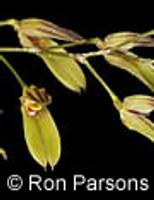 Pleurothallis grobyi