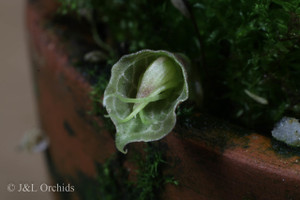 Corybas geminigibbus