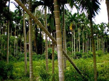 betelnuttrees.jpg