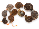 Ammonite Pendants 22-41mm - Set of 10 (AM605)