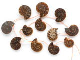 Ammonite Pendants 23-30mm - Set of 12 (AM607)