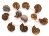 Ammonite Pendants 24-30mm - Set of 12 (AM609)