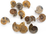 Ammonite Pendants 27-43mm - Set of 12 (AM610)