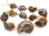 Whole Ammonite Pendants 21-50mm - Set of 11 (AM612)
