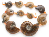 Whole Ammonite Pendants 20-50mm - Set of 11 (AM613)