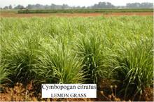 LemonGrass oil - pure (100cc)