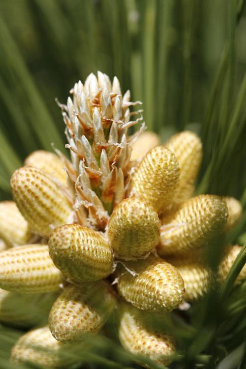 pine-pollen-benefits.jpg
