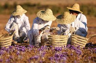 Welcome to the world of Saffron, the worlds most exquisite spice.