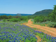 Bluebonnet Canvas Art | Bluebonnet Trail by Arthur Rawlings