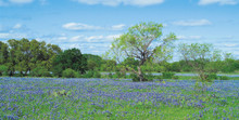 Bluebonnets and Oak Trees Canvas Art Prints by Arthur Rawlings