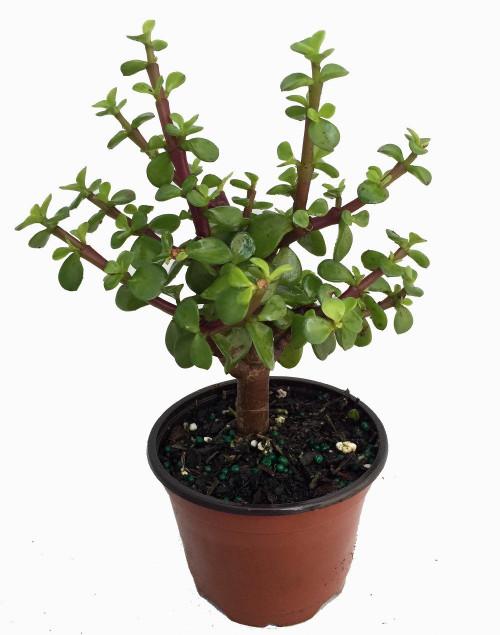 Mini Jade Plant Portulacaria Afra 4 Quot Pot Hirt S Gardens