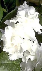 http://d3d71ba2asa5oz.cloudfront.net/12001418/images/tabernaemontana3.jpg?refresh
