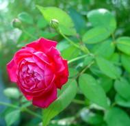 http://d3d71ba2asa5oz.cloudfront.net/12001418/images/roselouisphilippe.jpg?refresh